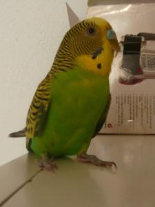 Foto realizada a un periquito macho por el color azul de su pico. El plumaje de su cuerpo es de color verde y su cabeza amarilla. Se encuentra de frente a la cámara pero con la cabeza girada de perfil. Se encuentra situado sobre una estantería de color blanco